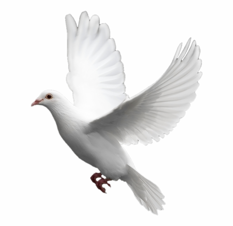 Doves clipart transparent background. White dove images free