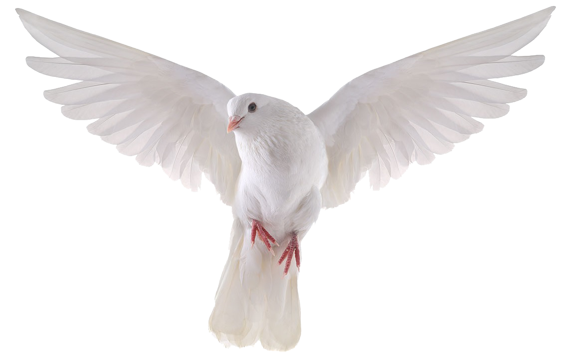 Dove png images. Pigeon clipart mart
