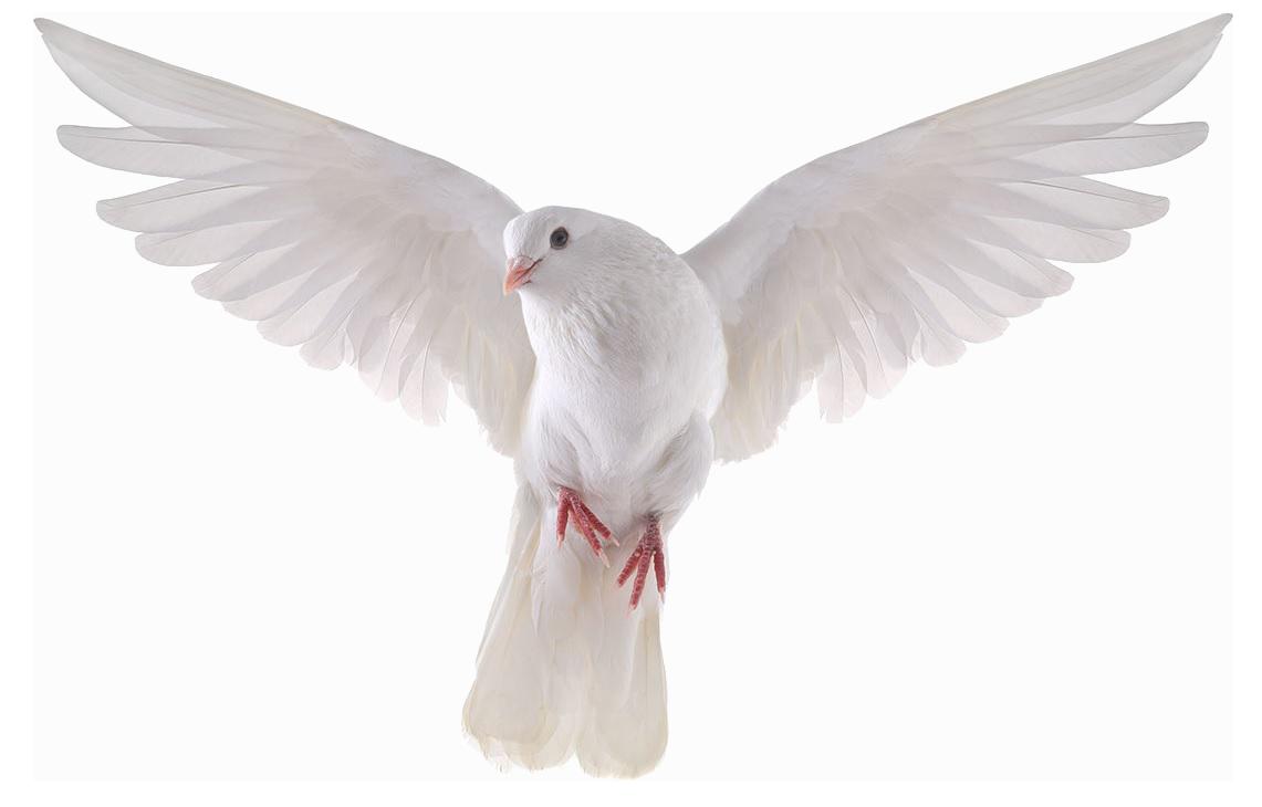 Pigeon png mart. Doves clipart transparent background