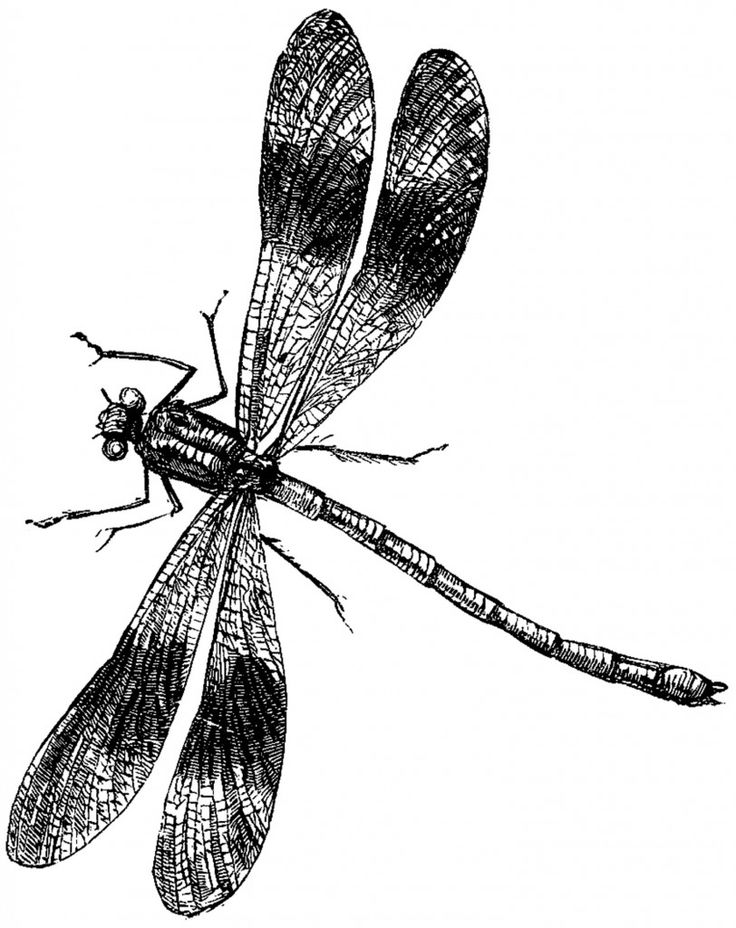 Dragonfly clipart beautiful dragonfly. Free image download clip