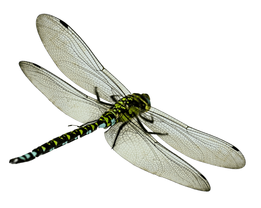 Png images toppng transparent. Dragonfly clipart copyright free