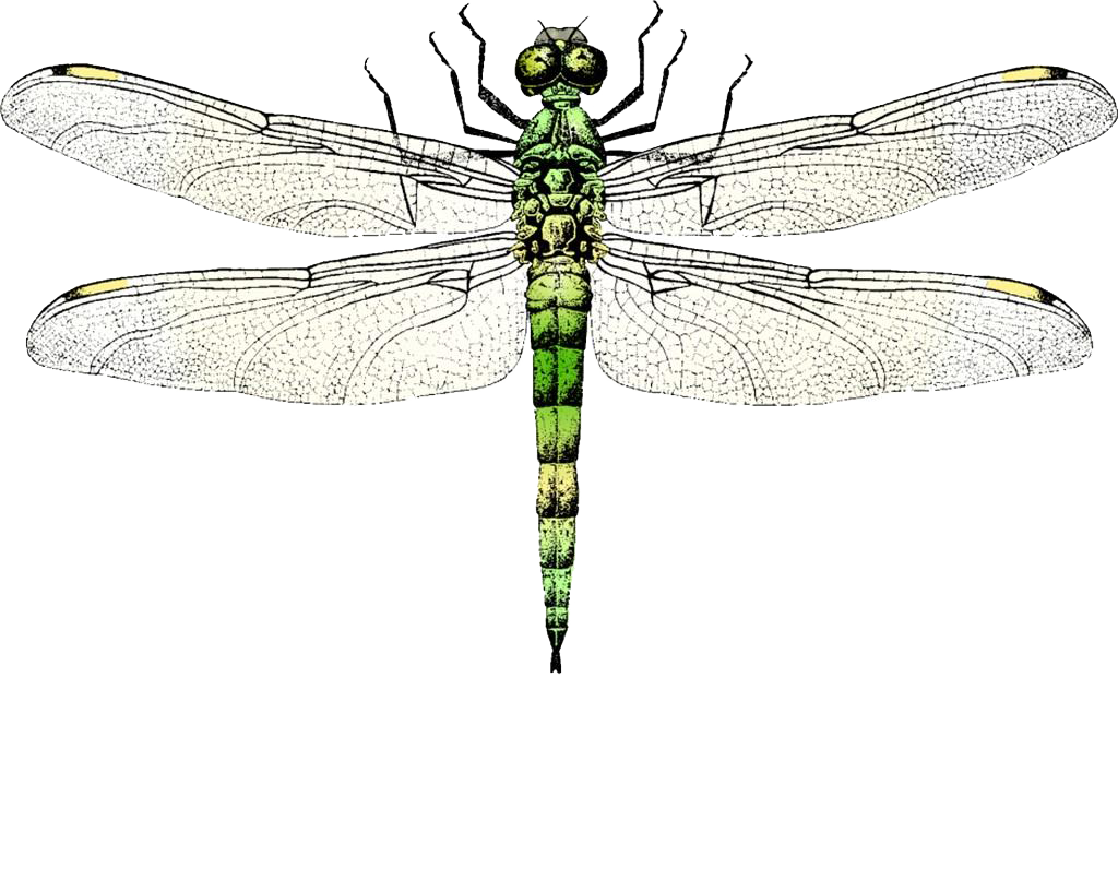 Wing clip art transprent. Dragonfly clipart insect
