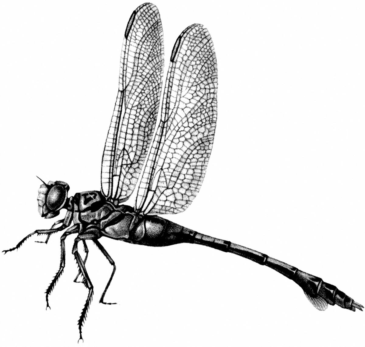 Dragonfly clipart printable.  images the graphics