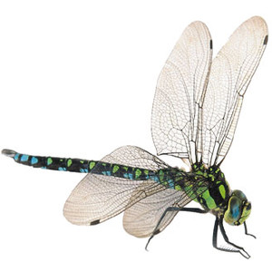How to train your. Dragonfly clipart realistic