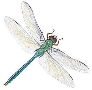 Dragonfly clipart realistic. I saved the life