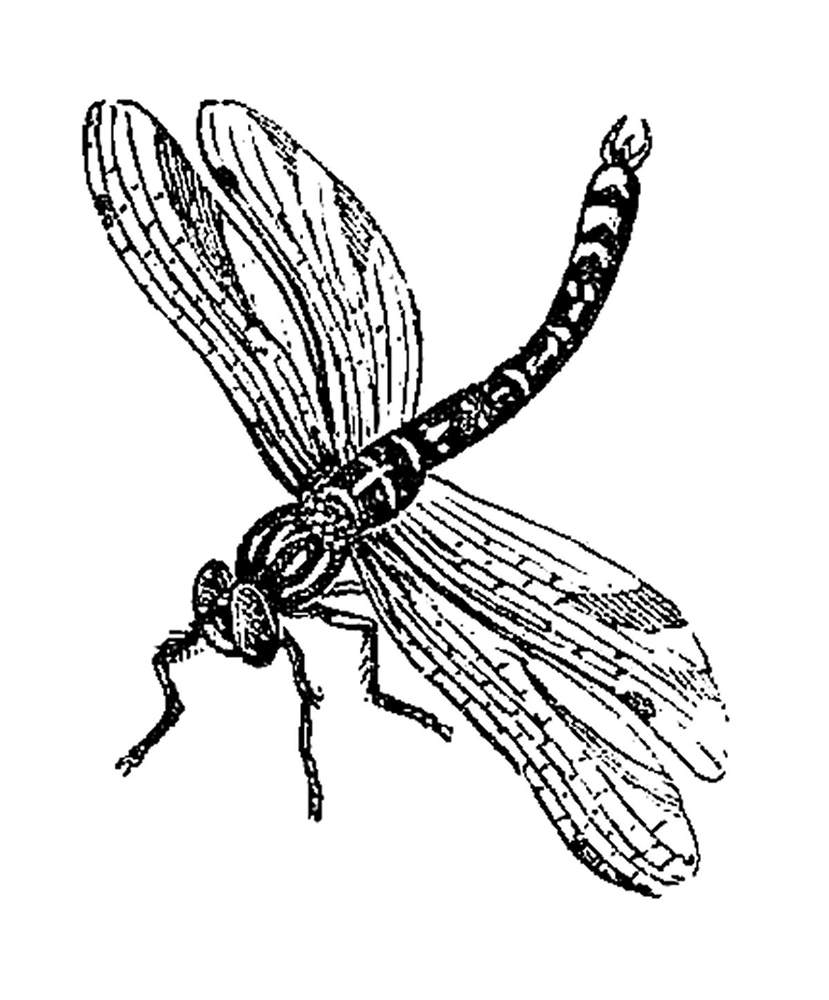 Free dragonfly download clip. Insect clipart thumbi