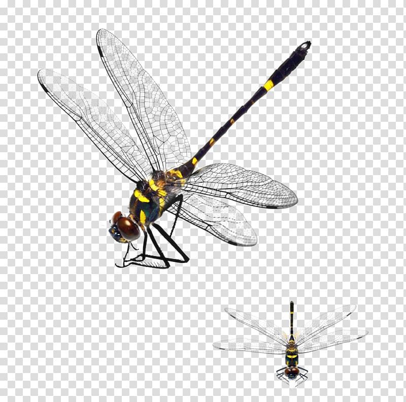 Dragonfly clipart yellow dragonfly. And black damselfly illustration