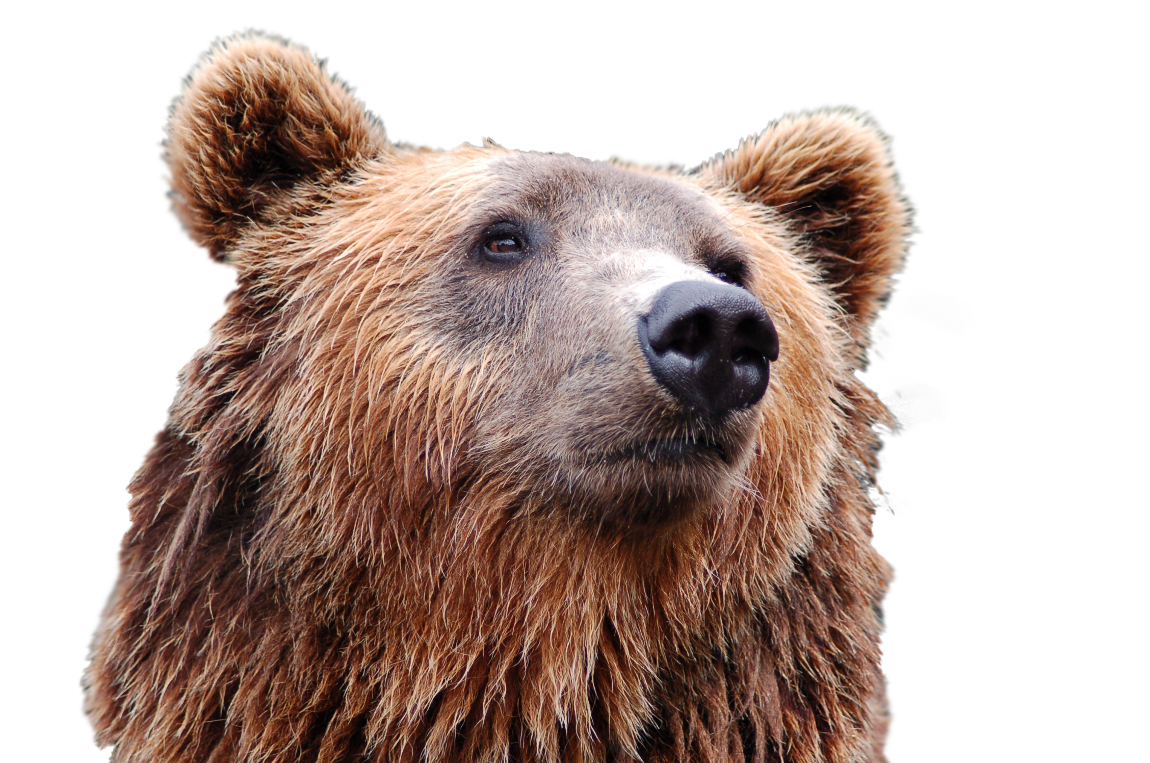 Head clipart brown bear. Png image purepng free