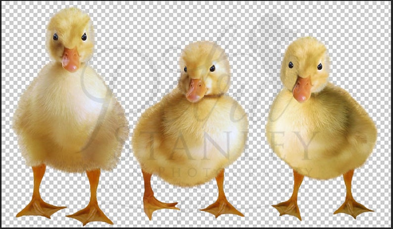 Easter ducklings overlay sheep. Duckling clipart baby duck