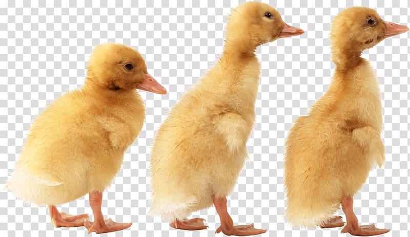 Yellow ducklings american pekin. Ducks clipart three duck