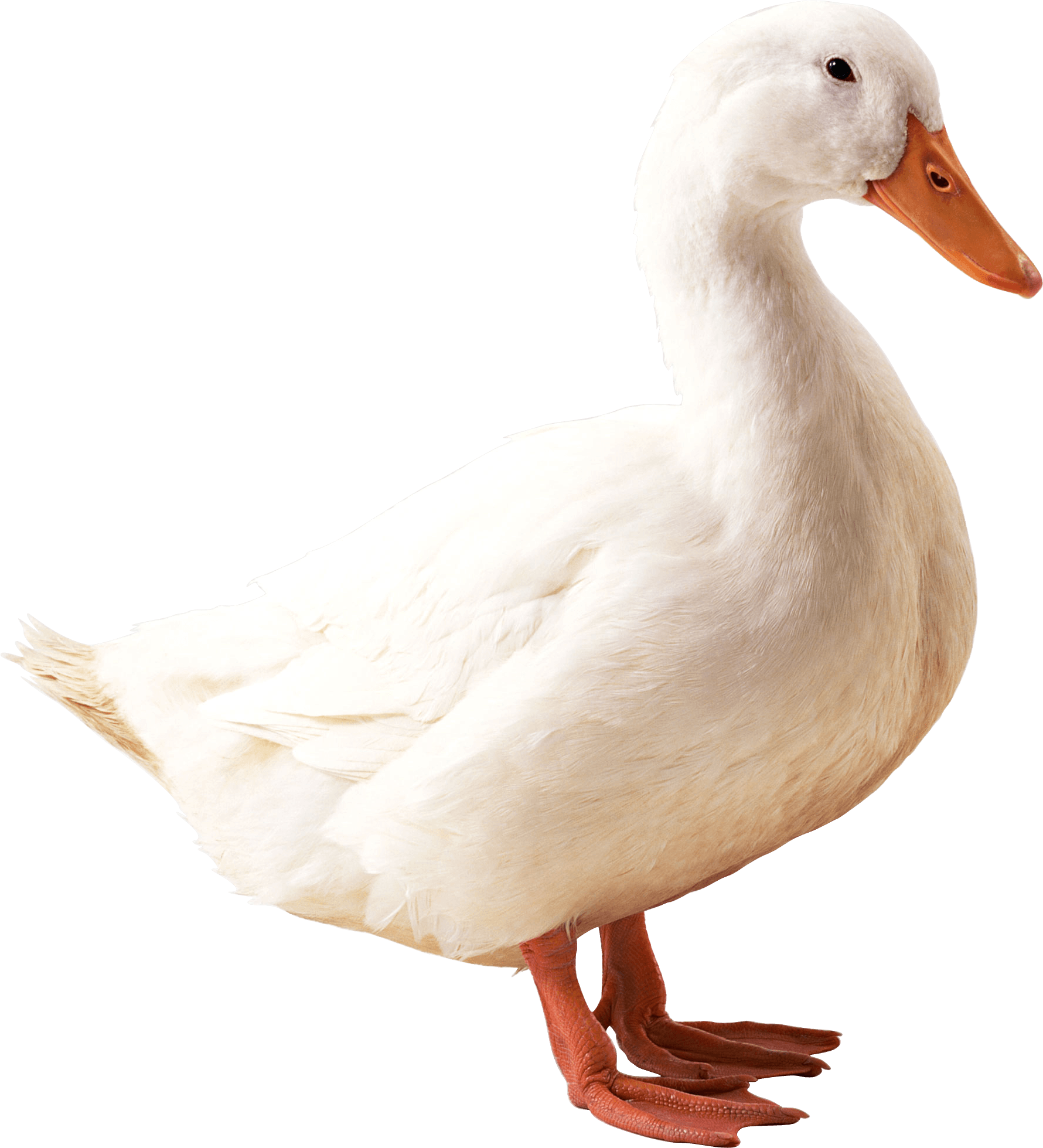 Ducks clipart short animal. Duck png photos mart
