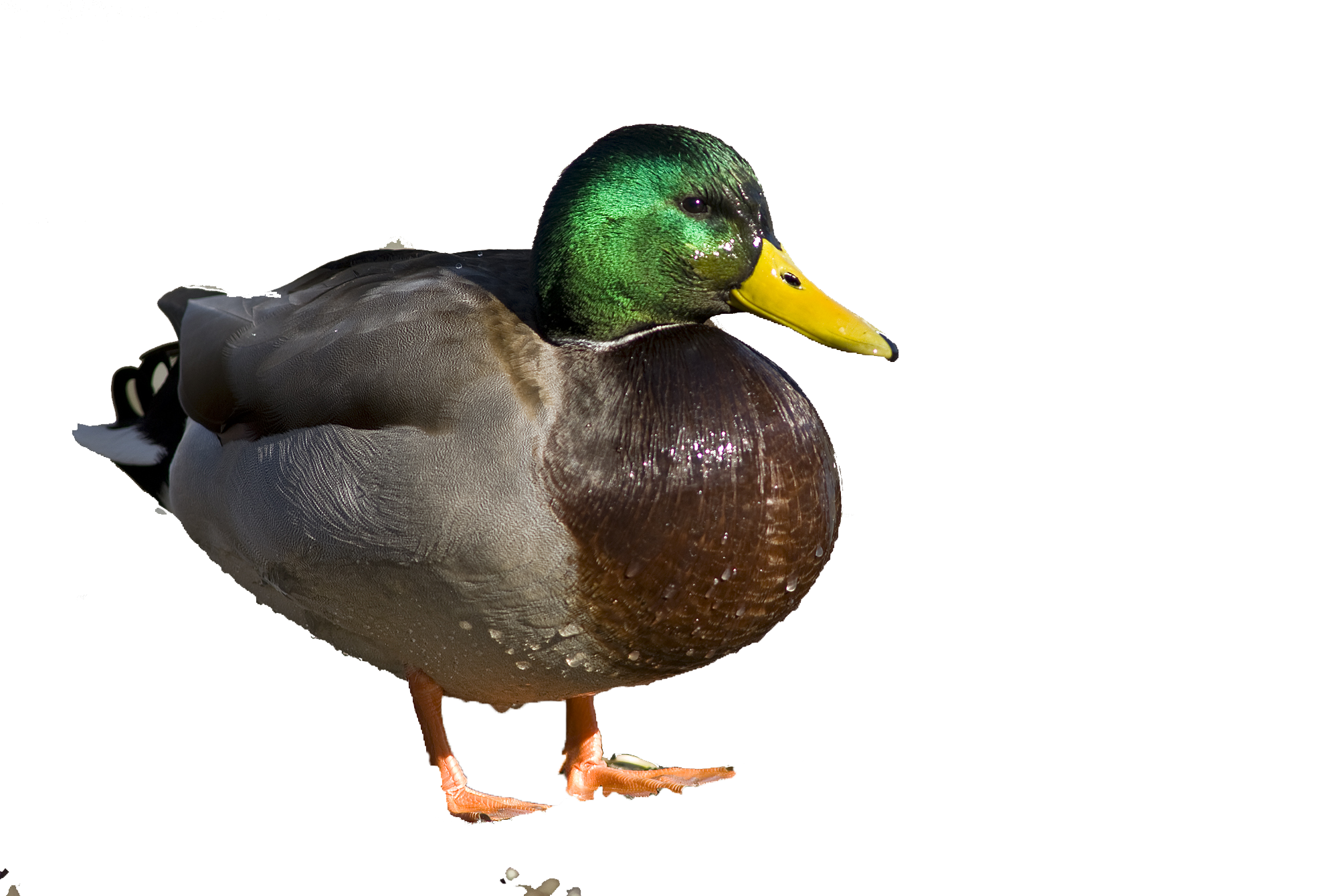 Ducks clipart wetland animal. Bog cycle ecology n