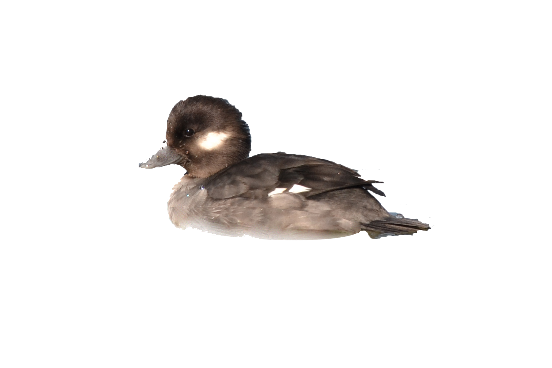 Wetlands adaptations n en. Ducks clipart wetland animal