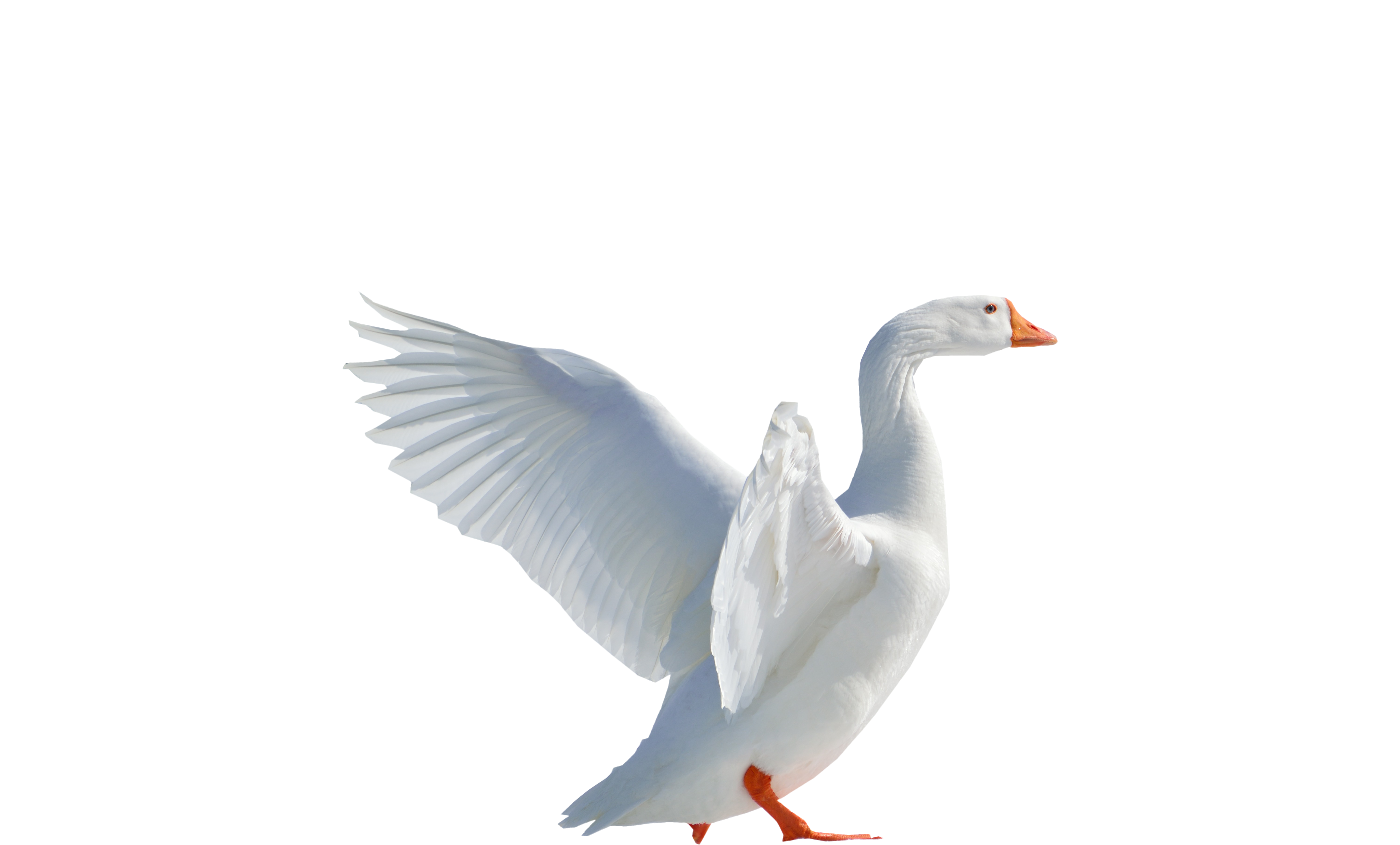 Duckling clipart wing. Goose flying png image
