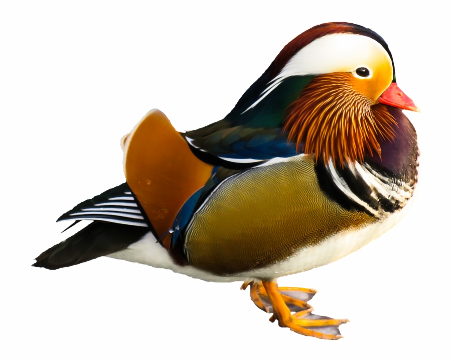Animal water bird colorful. Ducks clipart mandarin duck
