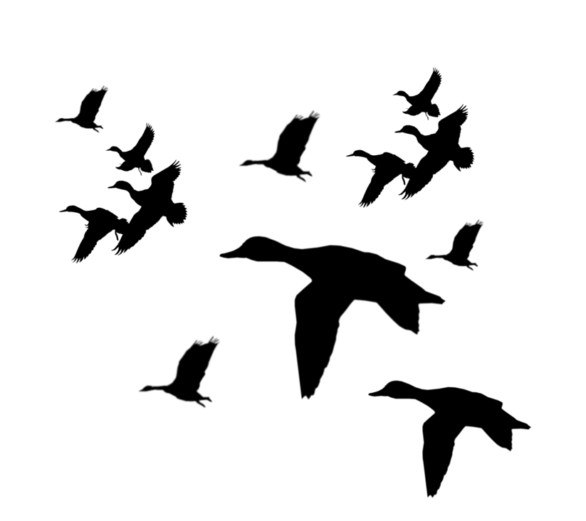 Mallard silhouette at getdrawings. Ducks clipart mandarin duck
