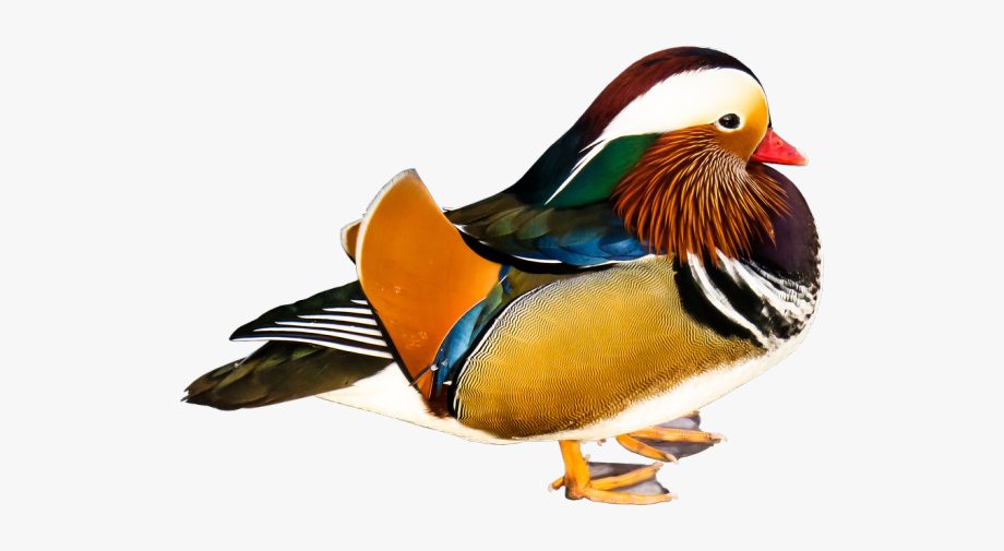 Ducks clipart mandarin duck. Wood figure