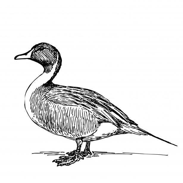 Duck illustration free stock. Ducks clipart public domain