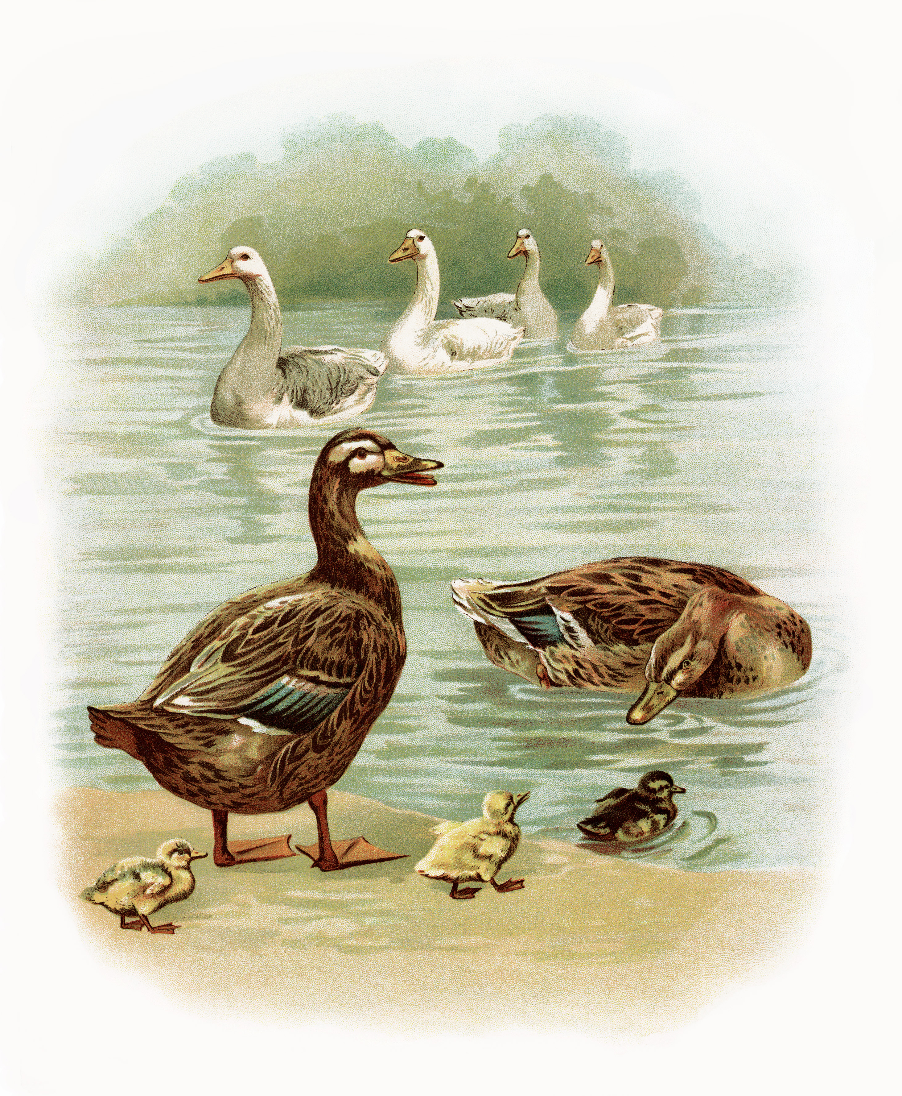 Free image geese and. Ducks clipart vintage duck