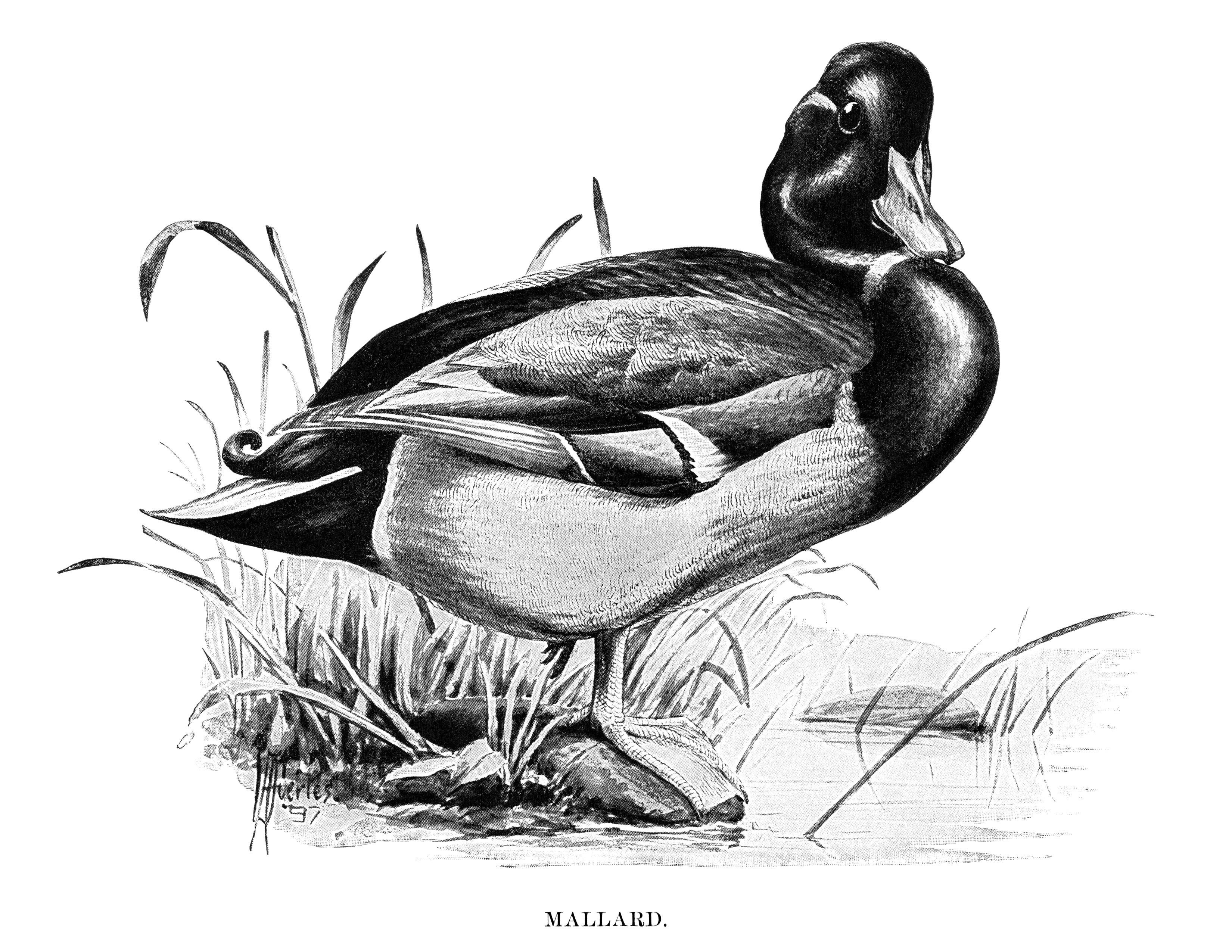 Cliparts zone . Ducks clipart vintage duck