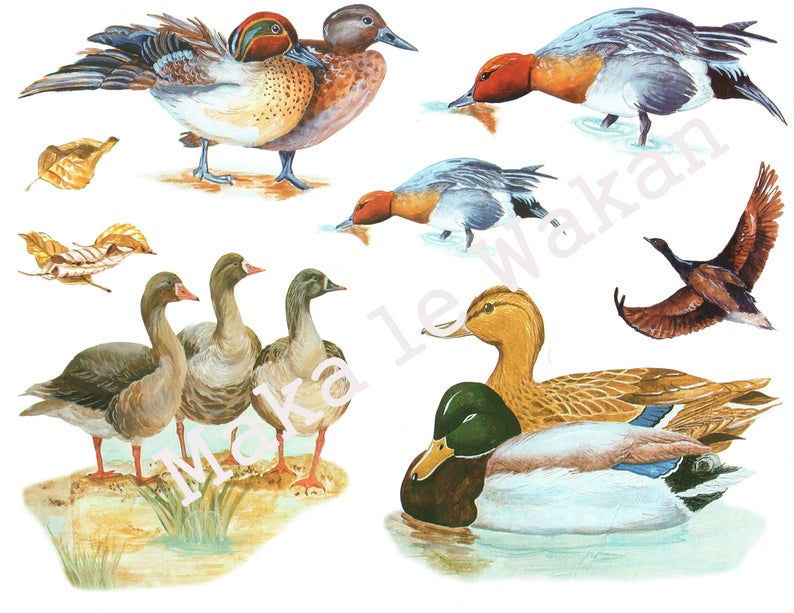 Ducks clipart vintage duck. Watercolor farmyard animal bird