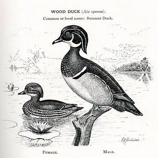 Ducks clipart wood duck. Drawing make everything better