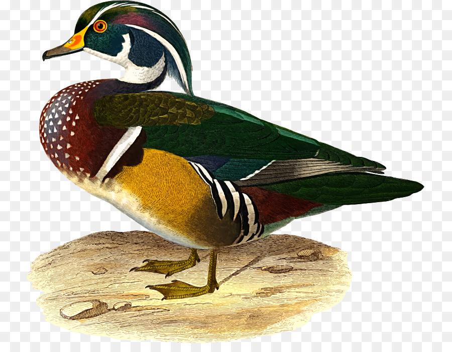 Background bird feather transparent. Ducks clipart wood duck