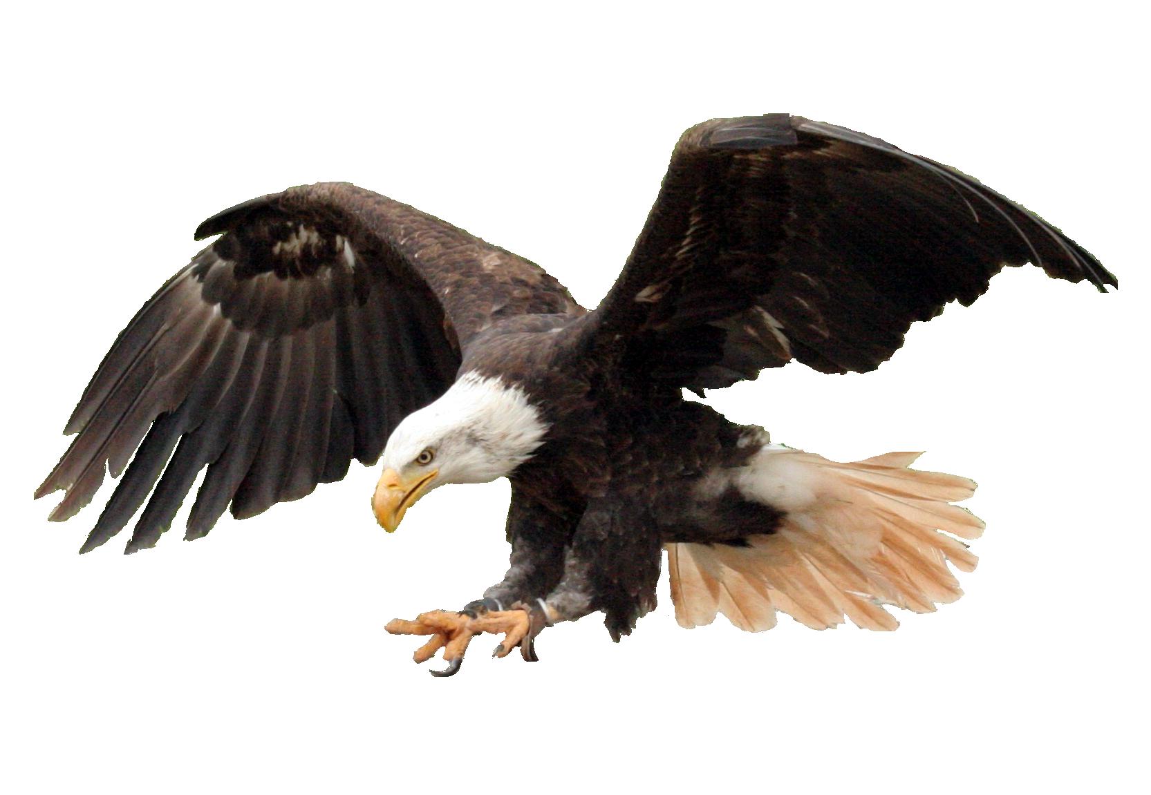 Hq png transparent images. Eagle clipart body