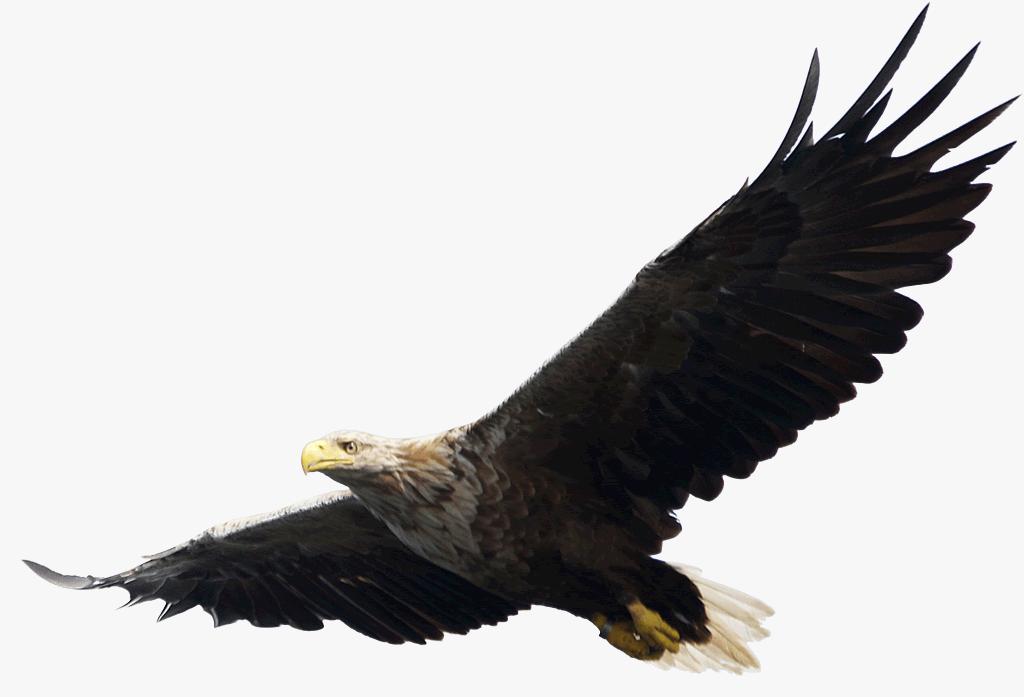 Falcon clipart baaz. Eagles nineteen isolated stock