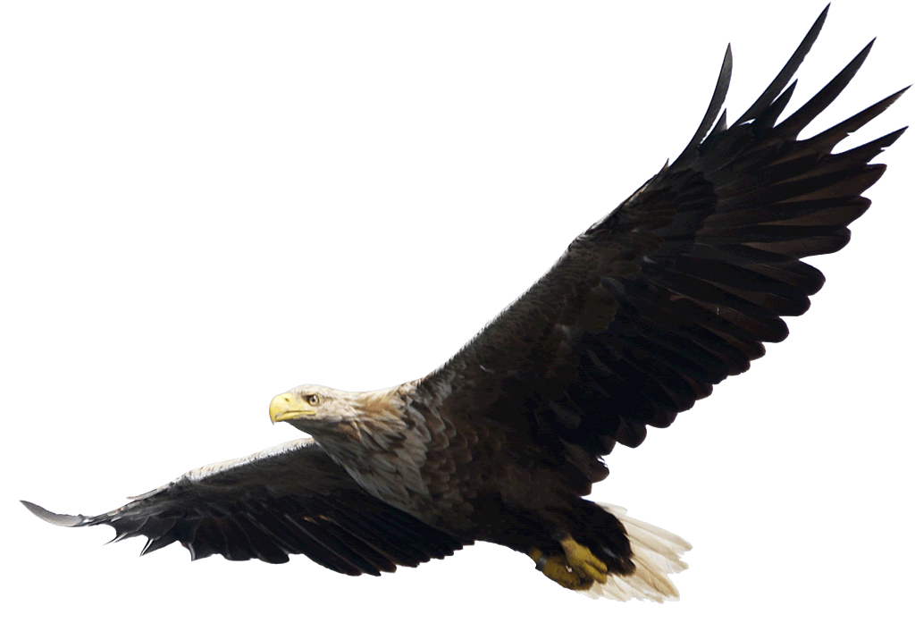 Bald flying png image. Eagle clipart majestic