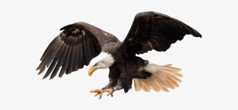 Bald png transparent images. Eagle clipart name