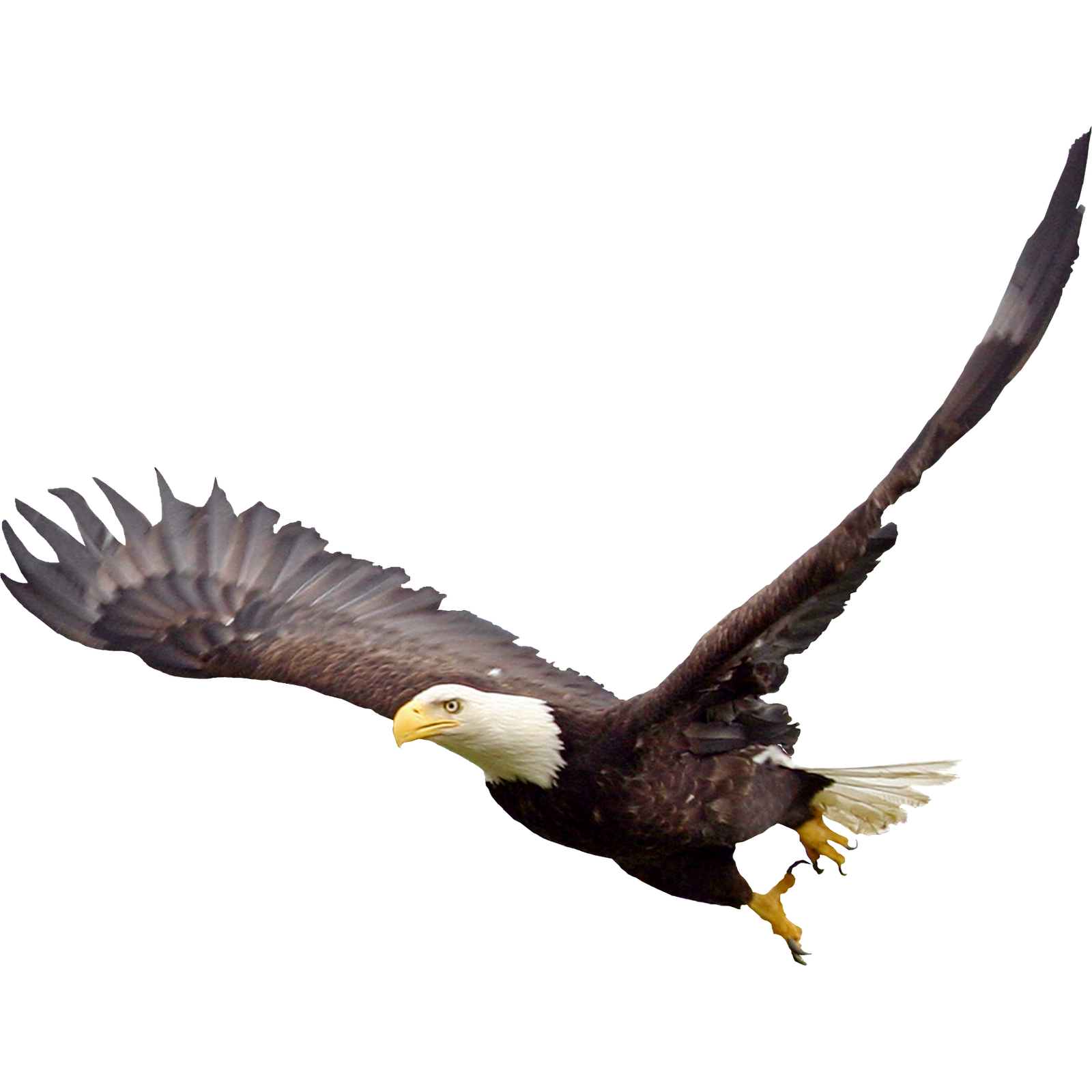 Eagle clipart pencil. Bald soaring png images
