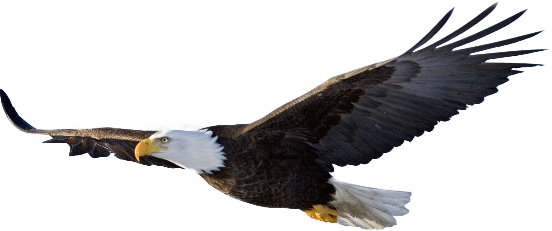 The most awesome images. Hawk clipart strong eagle