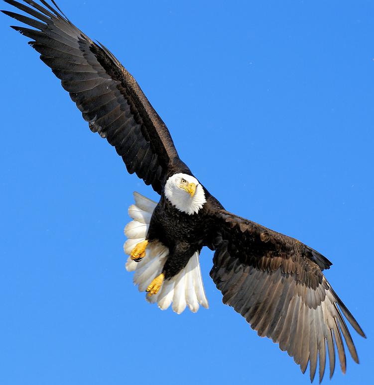 Eagles clipart eagle head, Eagles eagle head Transparent ... (751 x 774 Pixel)