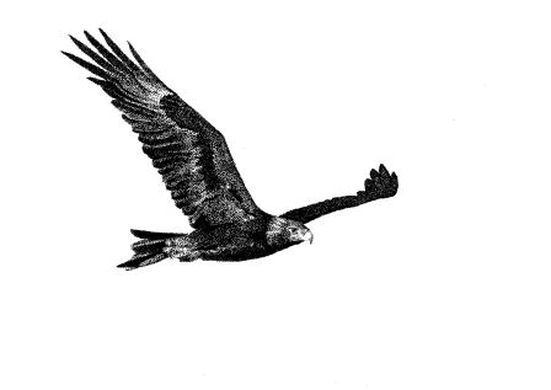 Drawing best animals birds. Eagle clipart wedge tailed eagle