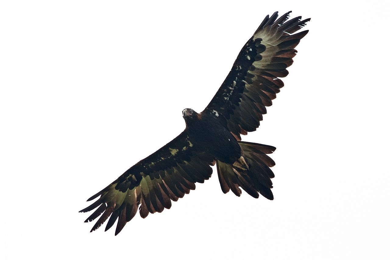 Eagle clipart wedge tailed eagle. Ink