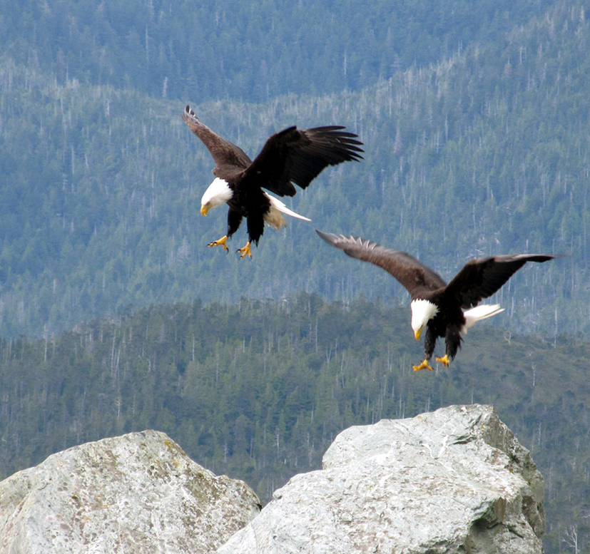 Bald pictures . Eagles clipart bold eagle