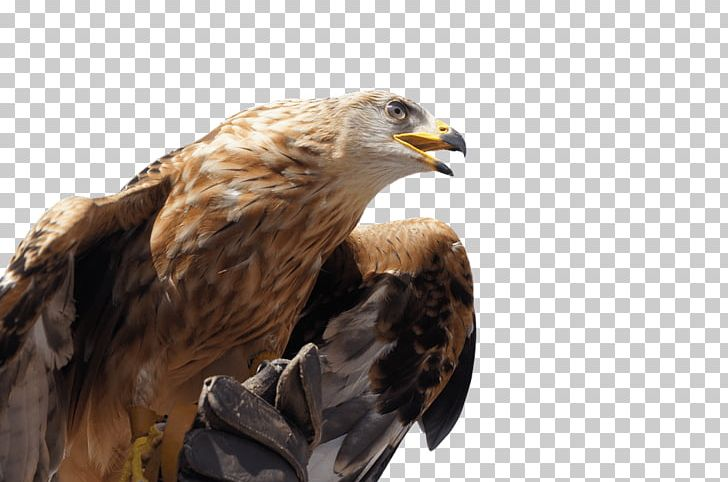 Golden png animals birds. Eagles clipart crowned eagle