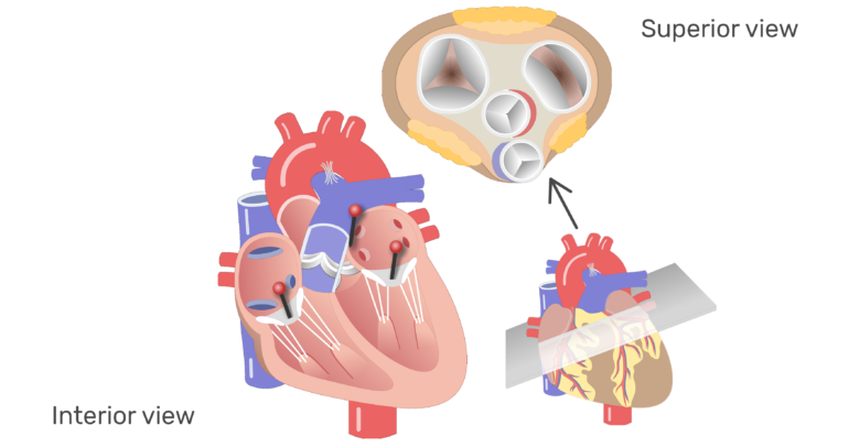 Ear clipart anatomy. Heart valves and function