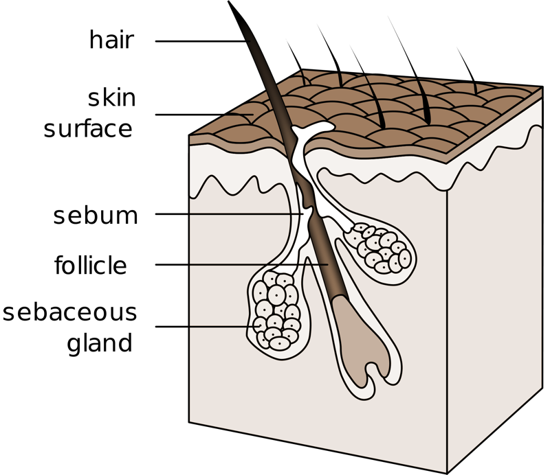 Tfw you have an. Skin clipart integumentary system