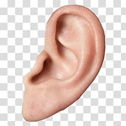Human transparent background png. Ear clipart small ear