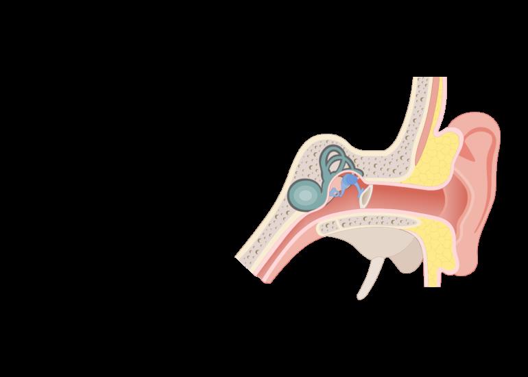 Eustachian tubes of the. Ears clipart auditory