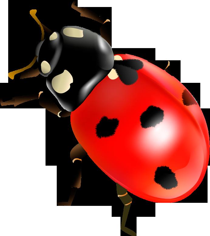 Ladybugs clipart egg. Coccinella septempunctata insect clip