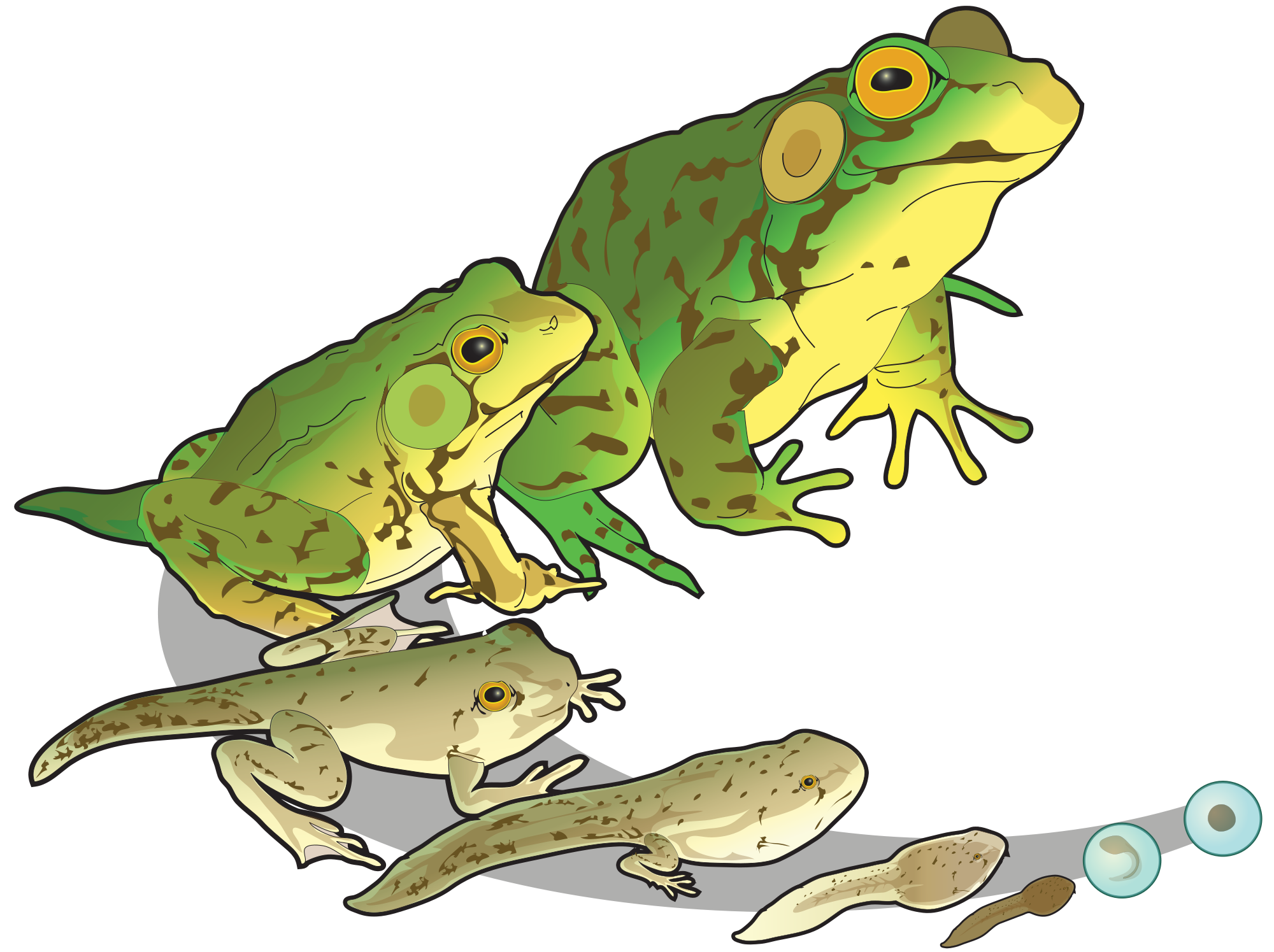 Transparent clip frogs google. Frog clipart craft