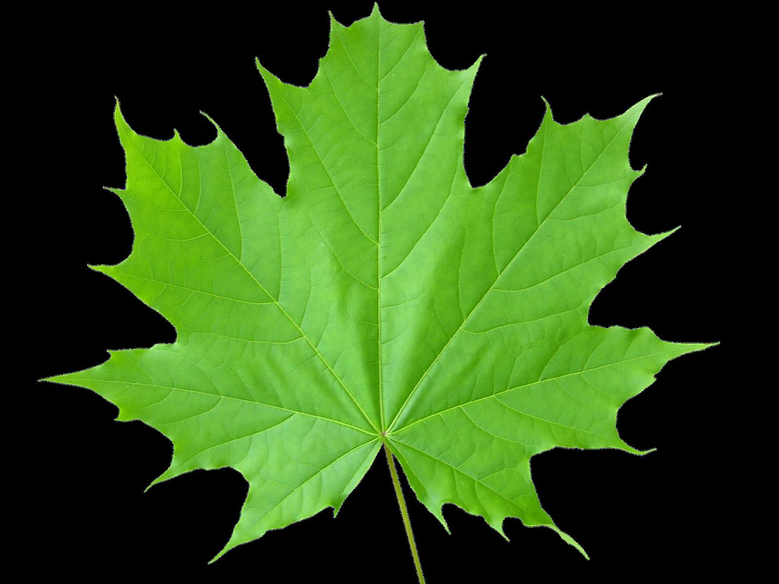 Eggplant clipart leaf. Green leaves three isolated