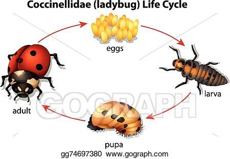 Vector art drawing gg. Ladybug clipart ladybug life cycle