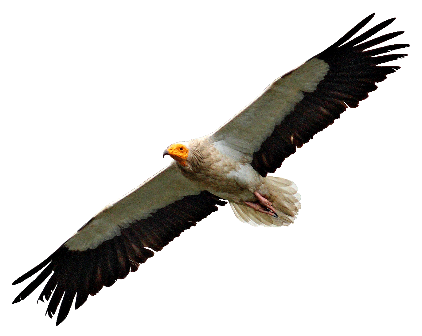 Egyptian flying transparent png. Wing clipart vulture