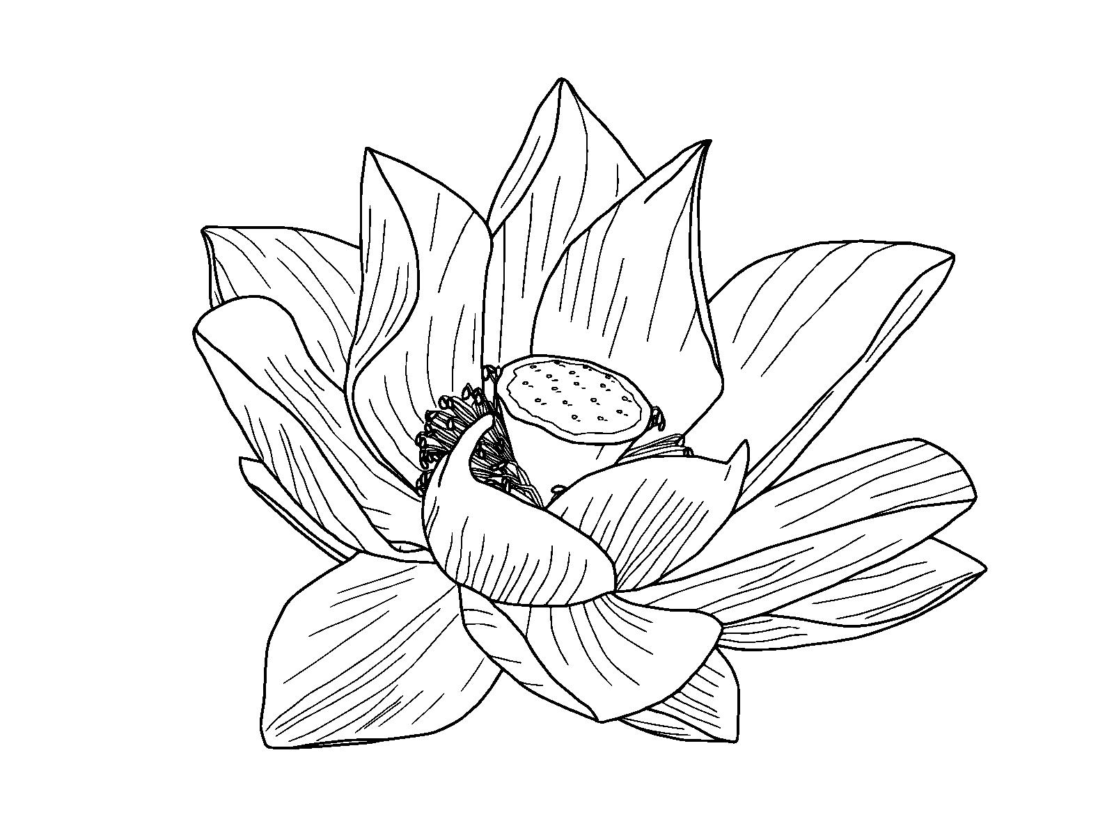 Egyptian clipart flower. Nelumbo nucifera drawing lotus
