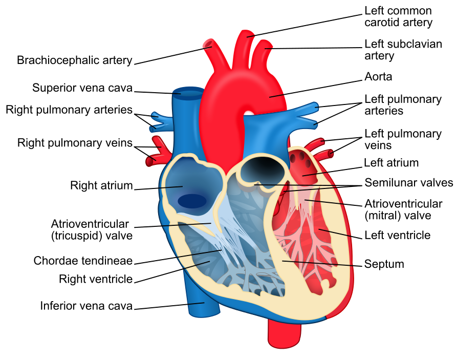 Heartbeat clipart heart valve. Ad rate monitor hookup