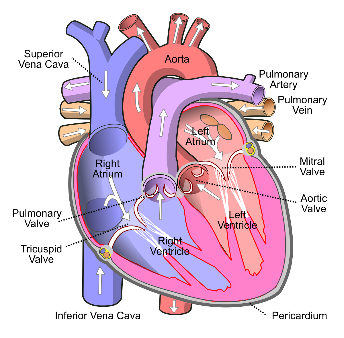 lungs clipart heart blood vessel